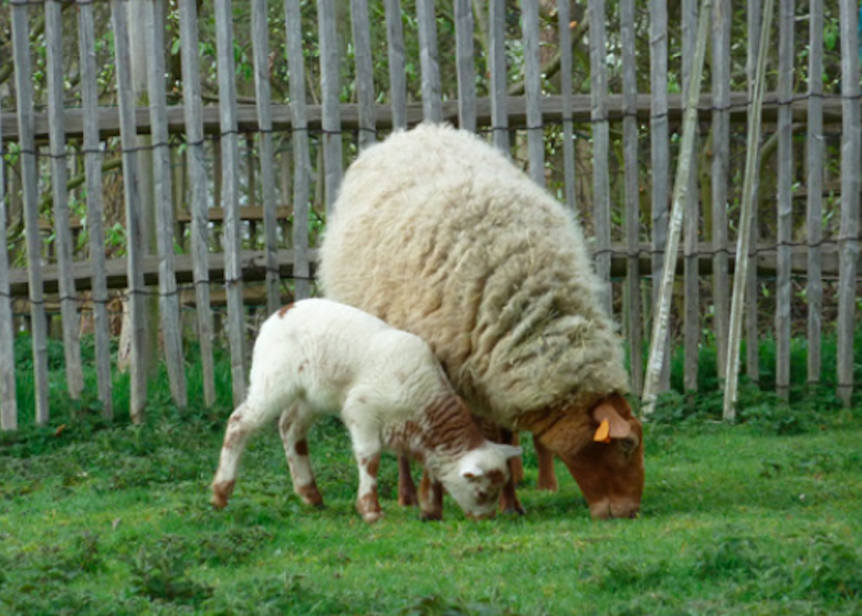 Rencontre mouton