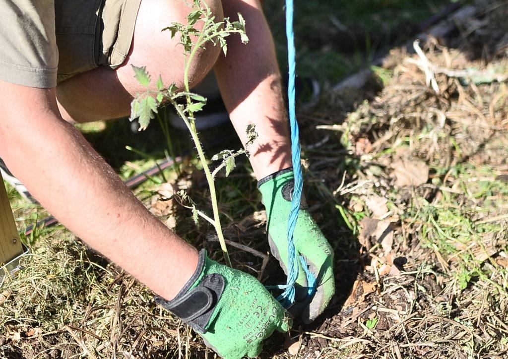 mains, travail, potager, plant de tomate
