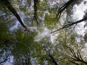 sommet grands arbres-min